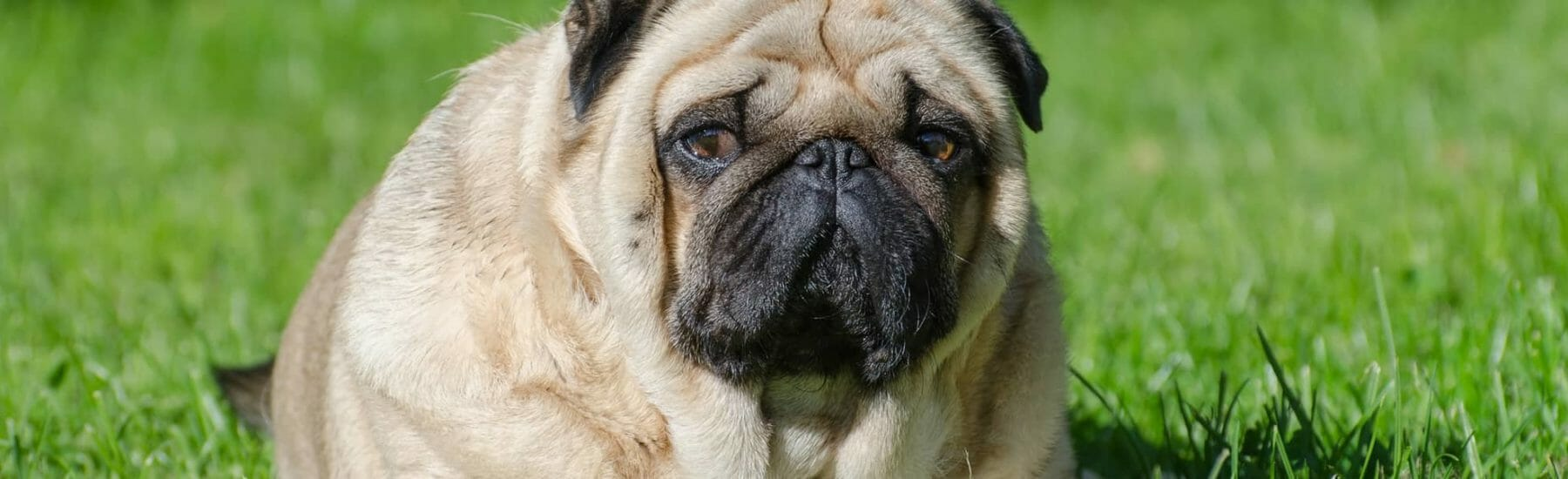 Weight Management for Pets